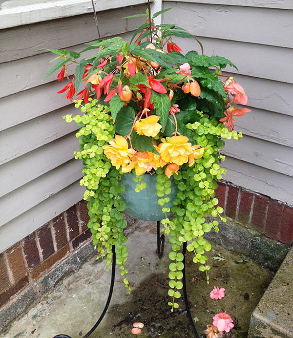 light green outdoor ceramic planter on iron stand, filled with trailing green Lysimachia nummularia, yellow-orange tuberous begonias, red angel wing begonias