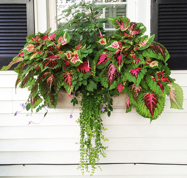 green & pink coleus and trailing lysimachia in window box on white house with black shutters