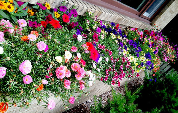 Long brick container garden filled with pink, red, yellow, magenta, purple & orange flowers