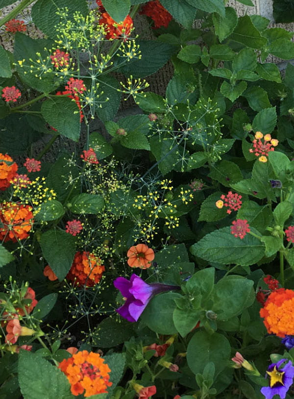 closeup view of yellow dill flowers, orange lantana and purple petunias