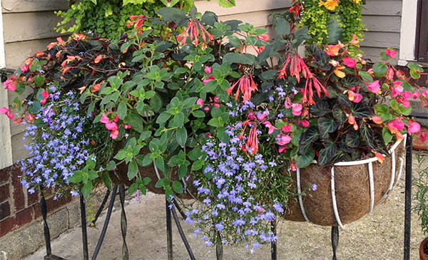 white wire hay rack on iron fence filled with trailing blue flowers, pink fuchsia and orange begonias