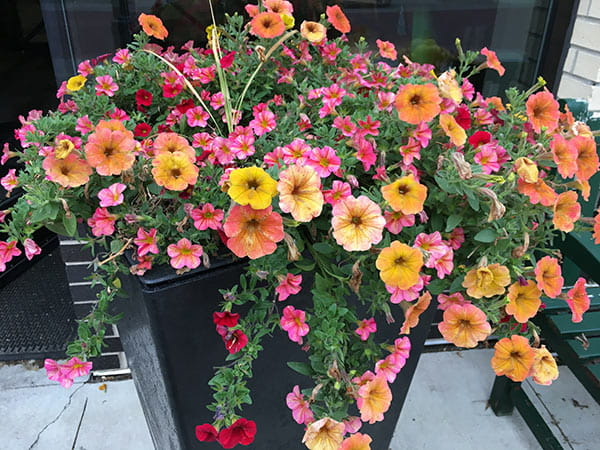tall outdoor planter with orange, yellow, pink & red trailing petunias