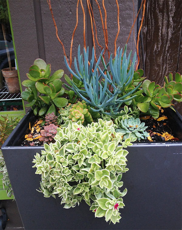 succulent container garden with trailing sedum, green and gray-blue succulent plants