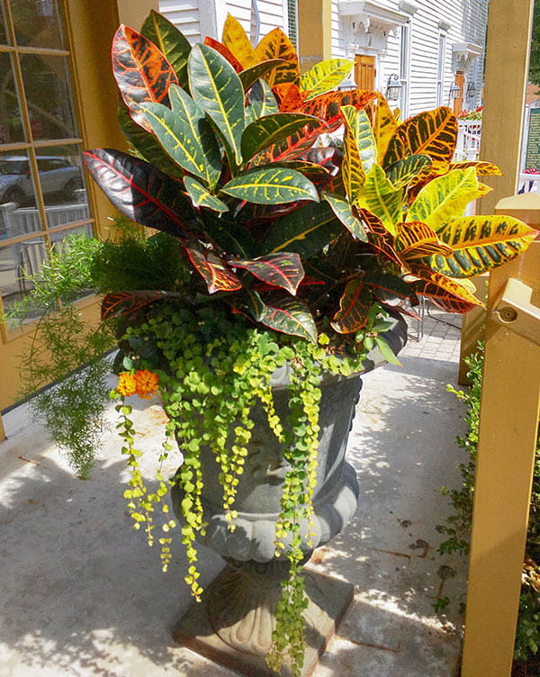 Outdoor concrete urn with red, yellow & green tropical plant and trailing green lysimachia in front of store