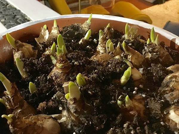 sprouting daffodil bulbs in planter
