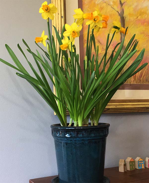 daffodils blooming in blue-green ceramic pot