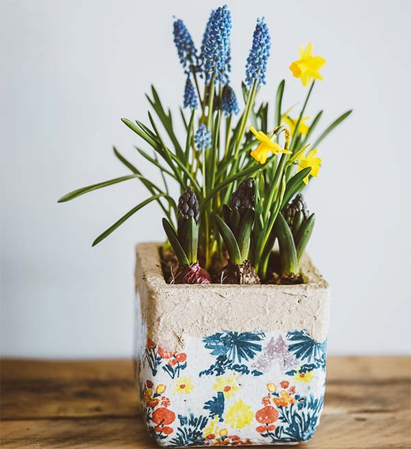 small yellow daffodils and purple grape hyacinth flowers blooming in painted flower pot