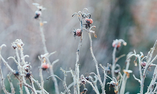 frost on dead flower stalks