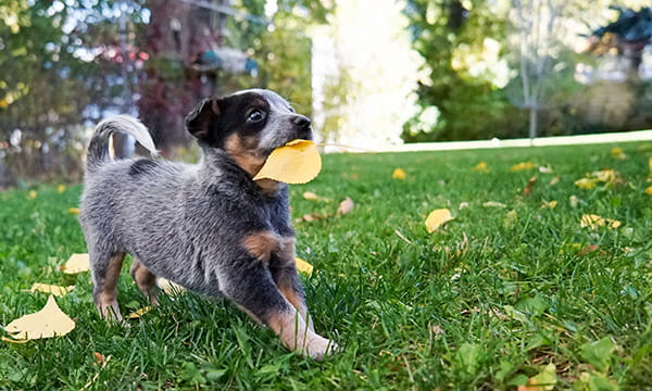 puppy in yard with yellow leaf in mouth