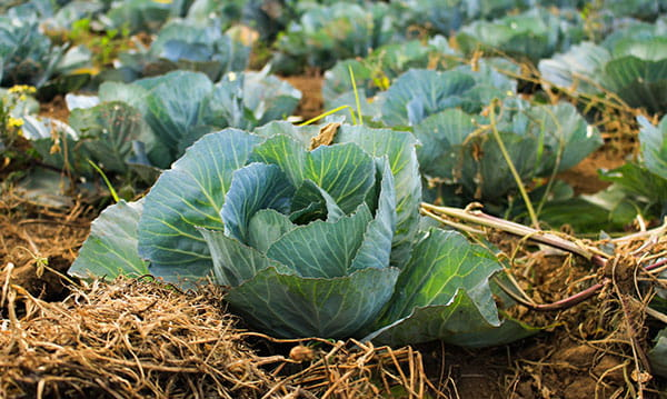 cabbage plants in mulched garden