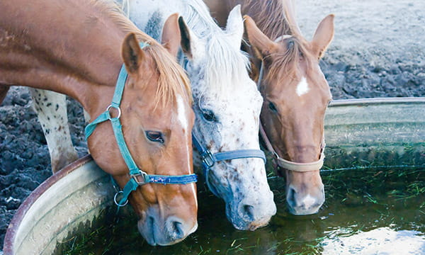 horses drinking from metal stock tank