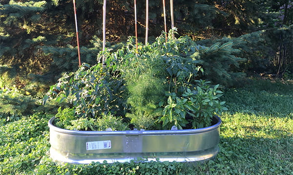raised garden planted in galvanized metal stock tank
